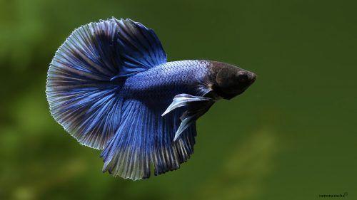 Pretty Betta Fish - Blue Halfmoon