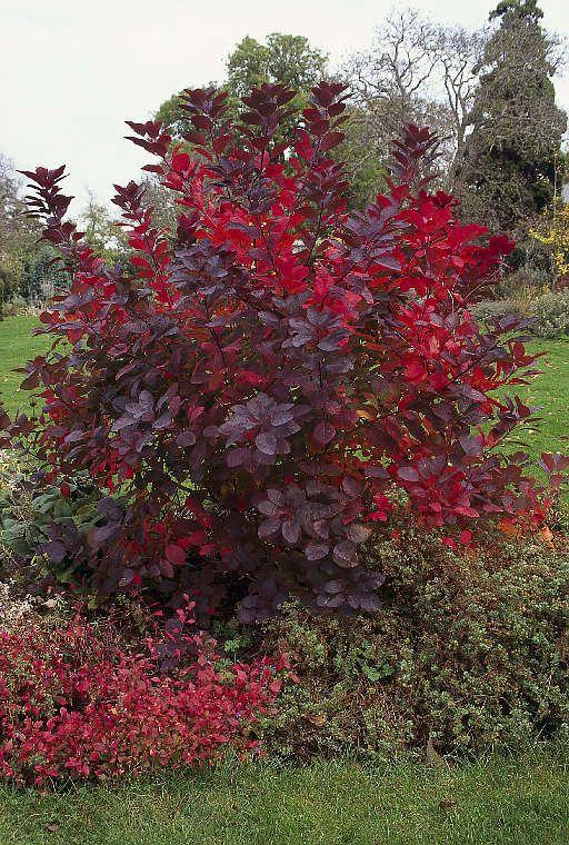 Cotinus 'Grace' - smoke bush. But..it's deciduous. Dang! Grows fast.