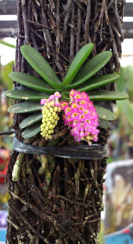 Schoenorchis fragrans, though small but the flowers are very pretty -  Light: Partial Shade Temperature: Warm to Hot Watering: Dry between Origin: India, Myanamar, Thailand and Yunnan China FRAGRANT