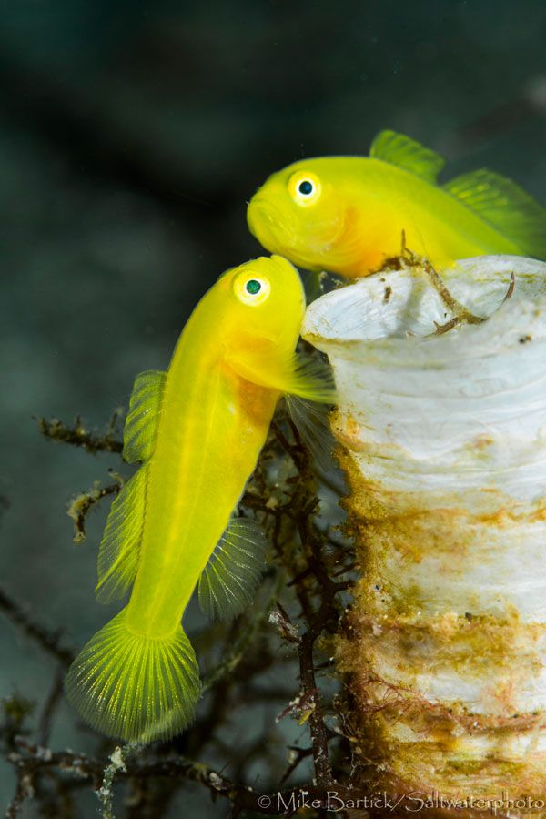 Pandaka pygmaea, the Dwarf pygmy goby, is a tropical freshwater fish of the family Gobiidae. It is one of the smallest fish in the world by mass, and is also one of the shortest freshwater fish