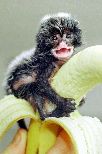 Eyes bigger than your stomach, perhaps? A tiny baby monkey moves in on a banana.    Lil bitty tiny monkey.., and oh so oddly smile..