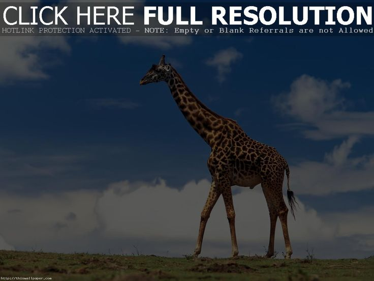 Giraffe HD desktop wallpaper : Widescreen : High Definition 1600×1200 Giraffe Images Wallpapers (41 Wallpapers) | Adorable Wallpapers