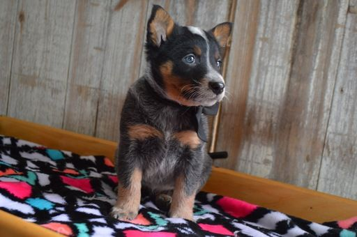 Australian Cattle Dog Puppy For Sale In Honey Brook Pa Adn 71152 On Puppyfinder Com Gender Female A Australian Cattle Dog Puppy Cattle Dog Cattle Dogs Rule