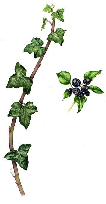 Lizzie Harper natural history illustrator botanical illustration of ivy Hedera helix botanical art