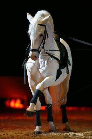 Lipizzaner horses - Lipica, Slovenia - mom's favorite horse