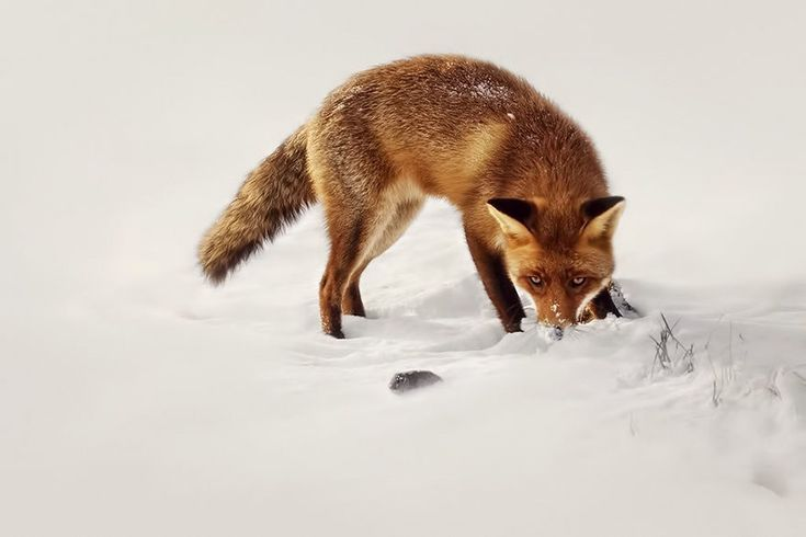 Photographer Reveals Rarely Seen Side Of Wild Foxes – NatureZoom