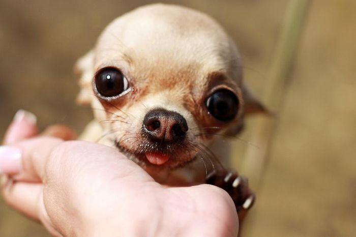 Am I cute? #chichuahua