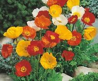 100+ Iceland Poppy Flower Seeds / Papaver Nudicaule/ Annual