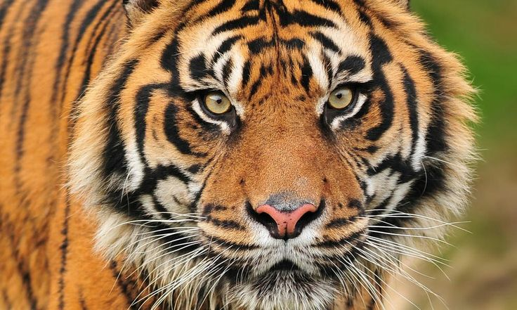Samatran tiger, Indonisian Forest, less than 400 left. Critically endangered,WWF site, you can help, symbolically adopt a tiger, as gift, see WWF site for adoption kits which comewith a olush animal. Great Christmas gift.