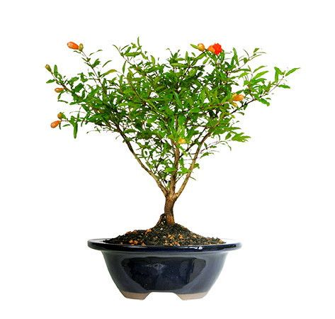 Who doesn't love pomegranates? The Pomegranate Bonsai Tree is relatively new to the bonsai realm, but happens to be one of the best. It is a dwarf Pomegranate that happens to thrive indoors when kept by a sunny window. The vivid orange flowers will add a splash of color to any room in a delightful, seasonal manner. The buds will begin to develop and bloom from spring to summer, and colorful pomegranate will appear in October.