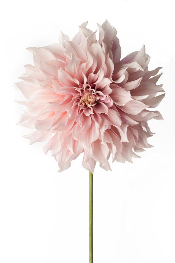 Flower Photography – Floral Still Life Photography, Pink Dahlia, Cafe au Lait, Wall Decor, Wall Art