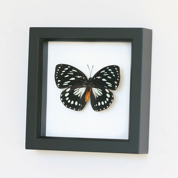 Real Framed Butterfly African Queen with Gift box by BugUnderGlass
