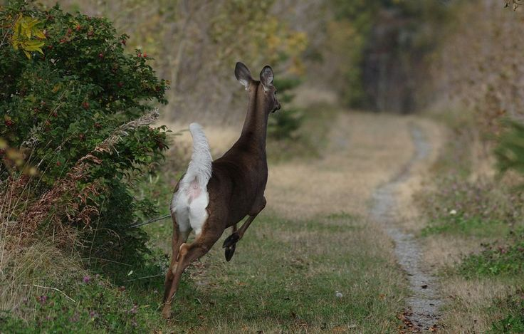 White-Tailed Deer, White-Tailed Deer Pictures, White-Tailed Deer ...