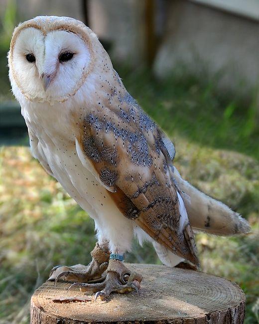 barn owl   Spirit animal totem, Barn owl, Spirit animal