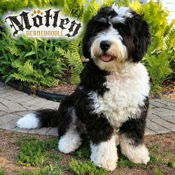 References–Mini Bernedoodle Brady We can't believe Brady is six months old! He is amazing. He is calm yet playful, affectionate, and a total love. Literally nothing phases him. He has been exposed to thunder, fire works, loud mechanical noises, vacuums right up to his crate, umbrellas, and all of the other things people find puppies …
