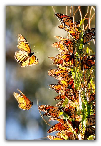 Monarch Butterflies, Natural Bridges, Santa Cruz, California. Thousands of monarchs visit the eucalyptus groves each year, covering the branches so that their fluttering wings appear to be leaves blowing in a sea breeze.