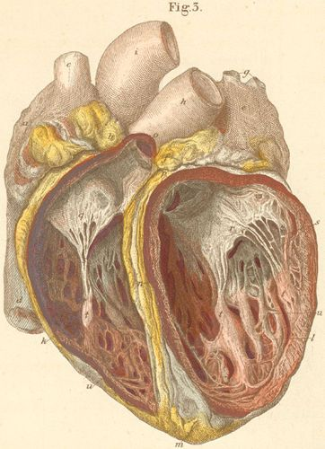 The heart seen from the anterior surface with opened heart chambers.