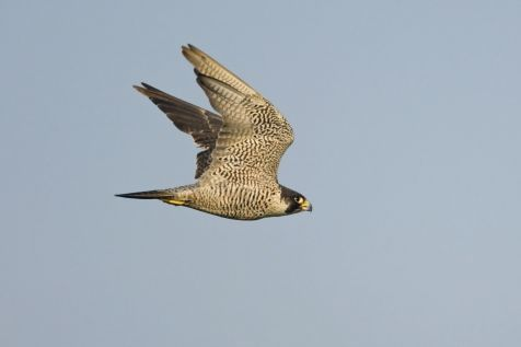 De Slechtvalk, de snelste vogel ter wereld. (foto: Harvey van Diek)