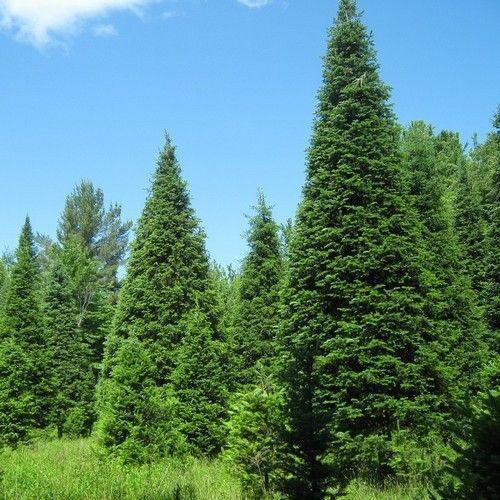Balsam Fir Tree Seeds (Abies balsamea) 25+Seeds