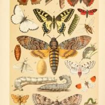 Free Vintage Illustrations of Butterflies and Caterpillars