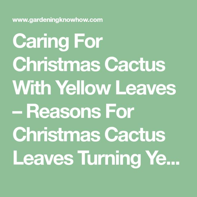 Caring For Christmas Cactus With Yellow Leaves – Reasons For Christmas Cactus Leaves Turning Yellow
