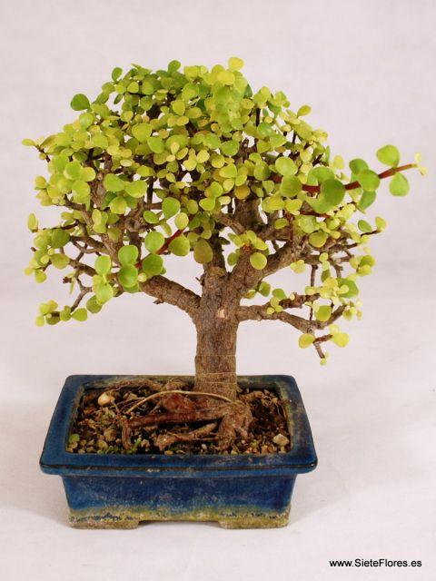Bonsái Portulacaria. Venta Online de bonsáis en Zaragoza.
