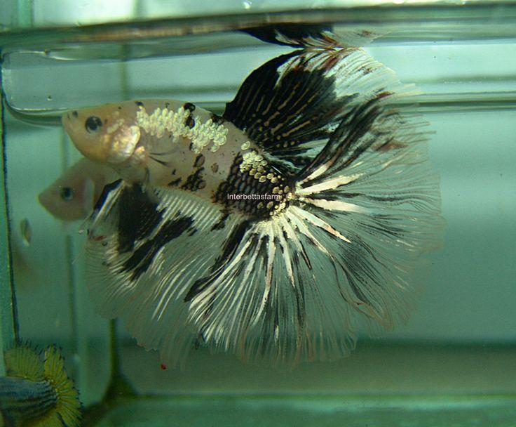 Fwbettashm1401979990 gold koi halfmoon male 03 for Male koi fish
