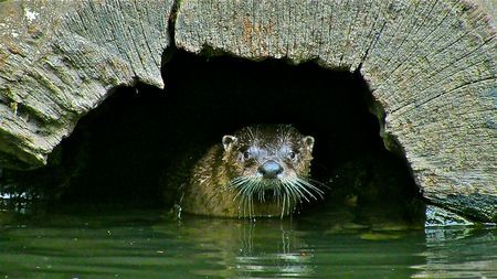 otter Photo by kevin fairbridge -- National Geographic Your Shot