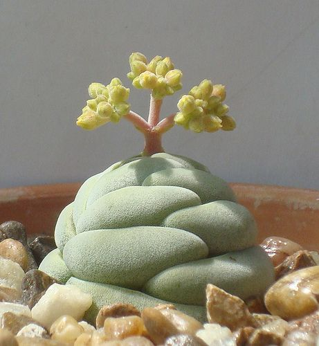 Crassula alstonii... like a rock and a bonsai tree in one!