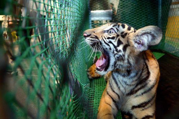 Cachorro de tigre entre animales confiscados por las autoridades de Malasia el 21 de octubre de 2016. Visite nuestra página y sea parte de nuestra conversación: http://www.namnewsnetwork.org/v3/spanish/index.php #nnn #bernama #malasia #malaysia #kl #animales #decomiso #policia #police #news #denuncias #noticias