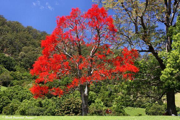 Illawarra lame Tree, Brachychiton acerifolius