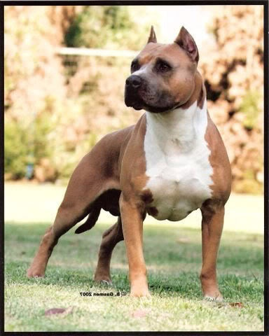 """Pitbulls Used to Be Considered the Perfect """"Nanny Dogs"""" for Children -- Until the Media Turned Them Into Monsters. Despite their reputation, the United Kennel Club doesn't recommend using pitbulls as guard dogs because they're too friendly with strangers. Read Article- http://www.alternet.org/civil-liberties/pitbulls-used-be-considered-perfect-nanny-dogs-children-until-media-turned-them"""