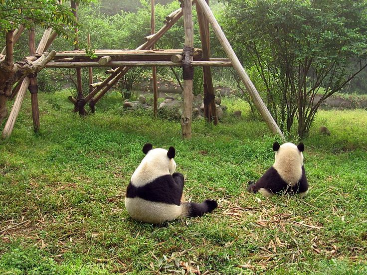 자이언트 판다 -GIANT PANDA