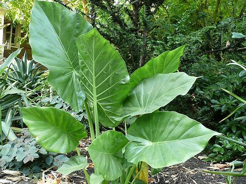 1000 id es sur le th me alocasia plant sur pinterest for Acheter des plantes vertes