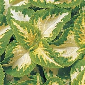 Coleus Wizard Jade. Will go nicely with my color scheme.