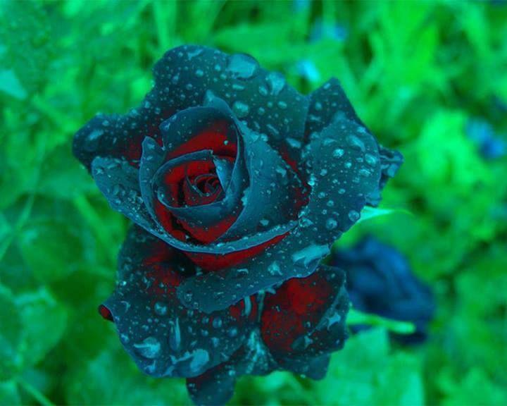 Strange Coloured Rose