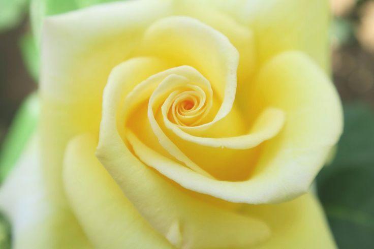 都立庭園 園長の採れたて@ParksTeien  5月8日   【旧古河庭園】ついにバラが見頃に入りました!今週末はたくさんの種類をお楽しみいただけます。12日(金)からは夜9時までライトアップしていますので、皆様お誘いあわせのうえ、ご来園ください。写真は西ドイツ時代の首相の名前がついた「ヘルムット・シュミット」