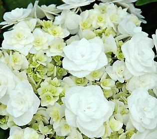 Flowers of Wedding Gown Hydrangea A modified lacecap hydrangea, Wedding Gown hydrangea