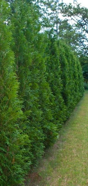 American Pillar Tree. Fast growing.  25-30 Feet Tall at Maturity. 3-4 Feet in Diameter. Grows 3-4 Feet per Year after the year it's planted. Great for privacy - natural fencing.