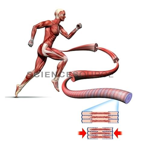 31 best anatomy/medicine images on pinterest, Muscles