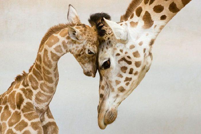 Месячный детеныш жирафа со своей матерью.