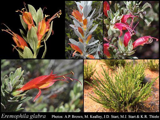 Eremophila glabra (Tar bush/Kalbarri carpet) Ground cover, full sun/part shade Flowers late winter to summer, bird attracting, Prune after flowering