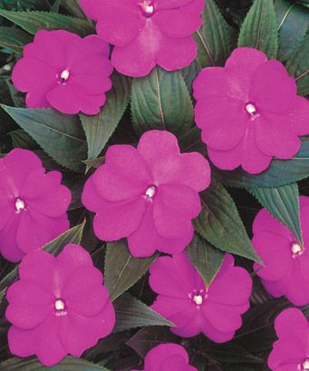 New Guinea Impatiens Purple - May 2013