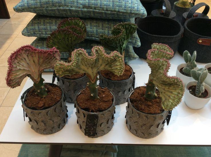 Funny Kaktus kun 99,-.