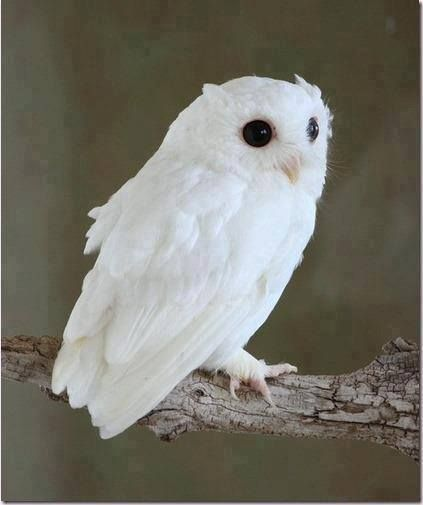cute baby white owl | animals | Pinterest | White owls ...