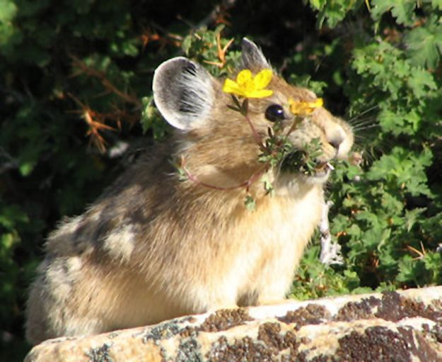 SURPRISE! This pika brought you some flowers. | Pikas Will Bring You Flowers
