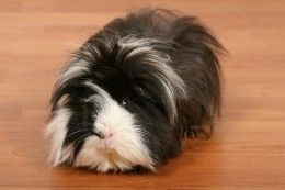 5 Most Common Guinea Pig Owner Mistakes