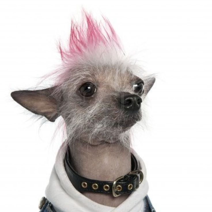 Stock Photo - Chinese Crested Dog - Hairless (2 years old) dog in front of a white background