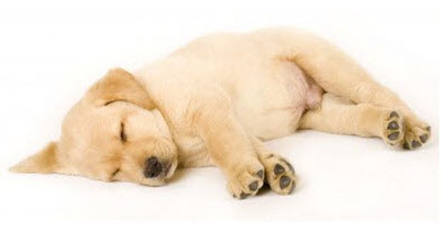 Labrador Puppies Archives - Labrador Retriever Guide