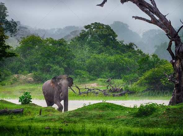 Elephant in the wild by galdzer. Elephant in the wild . Rainy weather. Country Of Sri Lanka